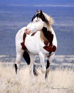 Beautiful Paint horse in the ocean breeze standing in the sea grass by the shore. Horses, Equine.