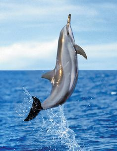 Pacific Bottlenose and Spinner Dolphins call the waters Lanai home. #Hawaii