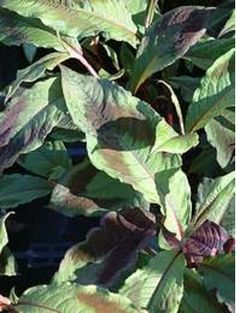 Persicaria virginiana Compton's form Mail Order Plants, Plant Order, Smith Gardens, Plant Delivery, Alpine Plants, Herbaceous Perennials, Foliage Plants, Order Up, Shade Plants