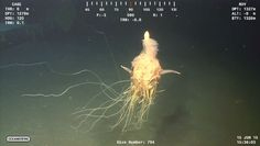 Sea creature nicknamed the flying spaghetti monster was observed in 4,350 feet of water off Angola. Photo: Screen grab