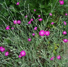 * Lychnis Coronaria * 'Rose Campion' Purple Flowers Hardy Perennial - 1L Pots | eBay
