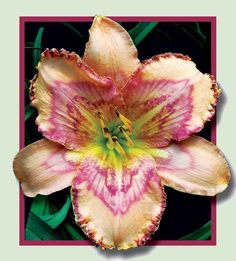 Tempest in a Teacup- the Lily Auction - The Fun Daylily Marketplace