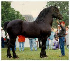 Blackhome Duke - Streak's grandsire #horse #equine http://globalhorsecents.com