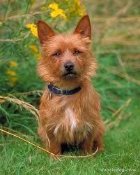Image result for Australian Terrier