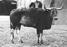 Kouprey at Vincennes Zoo in Paris by Georges Broihanne 1937.jpg