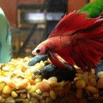 Betta Fish Tank Mates - Yes it is possible!