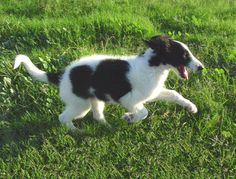 Borzoi at Gentle Giants Rescue and Adoptions PUPPY
