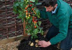 A mutant plant with the bottom of a potato and the top of a tomato grows both foods at the same time. But why?