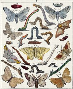 Moths and caterpillars illustration (plate 2) from Berge's Schmetterlinge, ca.1899