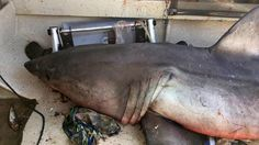 """GREAT WHITE JUMPS INTO BOAT >>>>  An Australian man got the surprise of a lifetime when a 9-foot great white shark weighing 440 lbs.jumped into his boat.erry Selwood, 73, was fishing off the north coast of New South Wales, Australia, on Saturday (May 27) when he suddenly found himself face to face with the ocean predator. """"There I was on all fours, and he's looking at me and I'm looking at him, and then he started to do the dance around and shake, and I couldn't get out quick enough onto the…"""