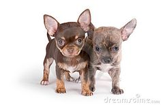 Two chihuahua puppies on white background