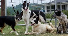 Smooth coat border collie Variety
