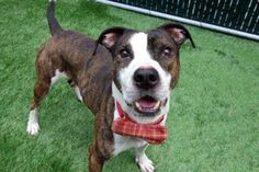 PAPII - A1113131 - - Manhattan  TO BE DESTROYED 06/02/17 A volunteer writes: Not that looking amazing in a bow tie is one of the qualities you're looking for in your new best friend, but still…Papii is the epitome of style and panache in his bowtie. Right? Gorgeous, fun and friendly, Papii is a delight, lovely on leash, likely housetrained, and his megawatt smile will light 1000 rooms! We had a great walk to the park, Papii noticing but not pulling towards other