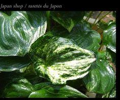 Maianthemum dilatatum 'Yama' Horticulture, Wild Flowers, Spinach, Vegetables, Nature, Naturaleza, Garden Planning, Wildflowers, Vegetable Recipes