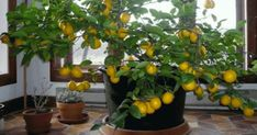 Growing lemons at home, will help you see the difference between those and the ones purchased at your local grocery store. There is a major difference in the taste, the quality, the freshness simply in...
