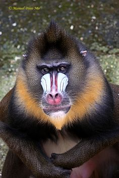 - Mandril -I thought only humans got their faces painted Animals Photos, Cute Animal Pictures, Primates, Mammals, Mandrill Monkey, Wild Animals, Cute Animals, New World Monkey, Ugly Faces