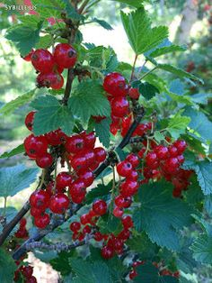SyCountrysideLiving: Red Currants #red #currant #countryside #sybille sycountrysideliving.blogspot.com