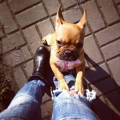 Pick...me...up! Bossy French Bulldog Puppy