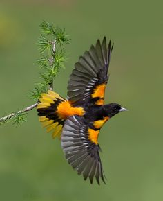 Baltimore Oriole Banking.  The Baltimore oriole commonly occurs in eastern North America as a migratory breeding bird.                                                                                                                                                      More