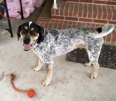 Jondo Bluetick Coonhound • Young • Male • Large Animal Protection League Columbia, SC