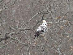 Leucistic Bald Eagle at Beaver Lake, AR