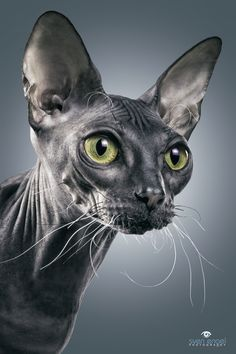 The Dwelf cat is a new cat breed. This cat includes the bald attribute of the Sphynx cat, the small thighs of the Munchkin kitten along with the curled ears of the American Curl. The result is a really unique-looking pet. Dwelf Cat, Rex Cat, Beautiful Cats, Animals Beautiful, Cute Animals, Sphynx Gato, Hairless Cats, Munchkin Kitten, Cat Photography