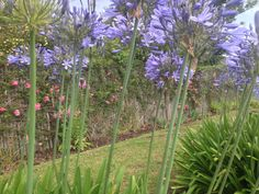 Agapanthus grow in profusion...