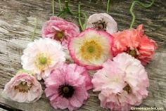 Angel's choir poppy seed pack from Renee's garden