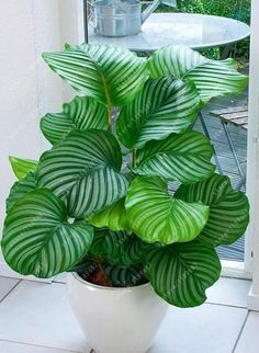 Palm Tree Turtle Leaves Monstera Potted Plants Seeds, tree seeds Bonsai Angiosperms, Mixed Perennial Rare Flower 100 pcs/bag