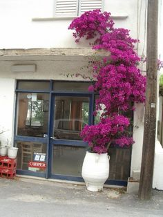 Bougainvillier : plante magnifique !