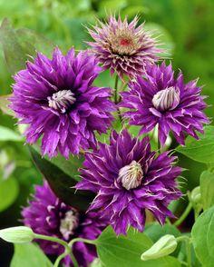 Clematis 'Multi Blue' • Plants & Flowers • 99Roots.com