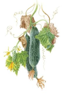 Distance Learning Diploma Course - Society of Botanical Artists Vegetable Illustration, Illustration Art, Illustrations, Watercolor Food, Watercolor Paintings, Botanical Flowers, Botanical Prints, Vegetable Drawing, Veggie Art