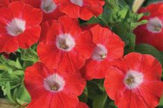 New Petunias Making Their Debut In 2015 | Greenhouse Grower