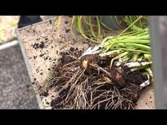 Replanting Daffodil Bulbs | At Home With P. Allen Smith
