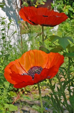 Poppies photo by sandra goroff (c) mailto:sgma@aol.com#Repin By:Pinterest++ for iPad#