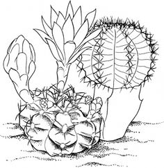 gymnocalycium mihanovichii hibotan cactus coloring page from cactus category select from 27278 printable crafts of cartoons nature animals - Prickly Pear Cactus Coloring Page