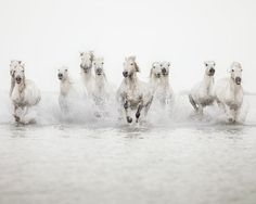 Stunning images of white wild horses in South France.