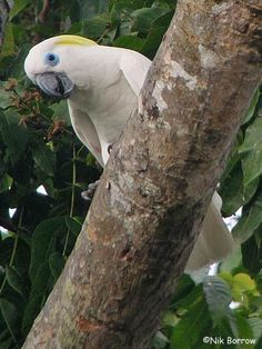 Blue-eyed Cockatoo (Cacatua ophthalmica)  Papua New Guinea