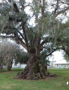 Burl Oak.  St. Martinville, LA. - used to live right across the street from the gorgeous tree!
