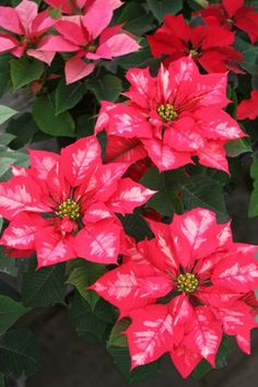 Ice Punch Poinsettia - our new favorite this year! Winter Flowers, All Flowers, Exotic Flowers, Beautiful Flowers, Poinsettia Plant, Christmas Poinsettia, Christmas Time, Xmas, Virtual Flowers