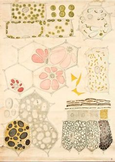 Cell organelles and cytoplasm visualisation -- Anatomia Vegetal pub. - Cell organelles and cytoplasm visualisation — Anatomia Vegetal pub. by FE Wachsmuth b by pe - Botanical Art, Botanical Illustration, Illustration Art, Vintage Illustrations, Patterns In Nature, Textures Patterns, Nature Pattern, Image Nature, Plant Cell