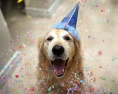 dog pictur, party animals, happy birthdays, golden retrievers, birthday parties, birthday boy, dog birthday, happy dogs, new years