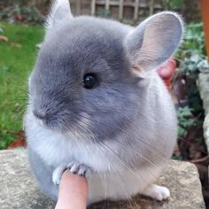 Absolutely adorable chinchilla : aww Best Picture For Exotic pets endangered species For Your Taste You are looking for something, Chinchillas, Hamsters, Rodents, Cute Little Animals, Cute Funny Animals, Chinchilla Cute, Animal Pictures, Cute Pictures, Nature Pictures