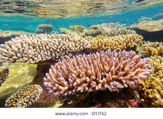 http://c8.alamy.com/comp/DYJT62/shallow-coral-reef-maldives-indian-ocean-DYJT62.jpg