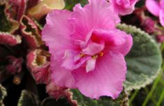 african violet  Country Cider plant in 4 inch pot