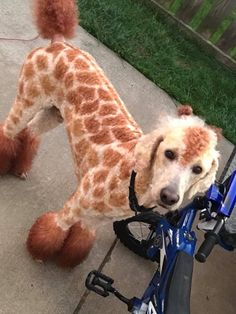 Pooraffe- Amir between a poodle and a giraffe Cute Baby Animals, Animals And Pets, Funny Animals, Fondant Giraffe, Giraffe Pictures, Giraffe Art, Dog Lady, Pet Costumes, Pet Life