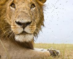 Beetlecam Gets Up Close And Personal With Lions In Kenya. A male lion yawns as it is is photographed with the remote controlled Beetlecam in Masai Mara National Reserve in Masai Mara, Kenya. Credit: Burrard - Lucas / Barcroft / Getty Images