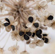 Allium Pods and Seeds ~ TheHealingWalk.com