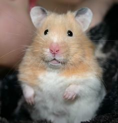 Budgeting for the Rest of Us!  Why a hamster?  Read it!