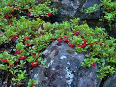 Arctostaphylos uva-ursi (Kinnikinnick) great groundcover, birds like berries, it likes sun and acid soil.